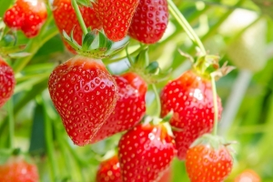 jahody-murano